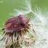 Lenktagalvė vėžliablakė – Eurygaster testudinaria (Geoffroy- 1785)   Fotografijos autorius : Darius Baužys   © Macrogamta.lt   Šis tinklapis priklauso bendruomenei kuri domisi makro fotografija ir fotografuoja gyvąjį makro pasaulį.