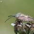 Rausvasparnė skydblakė – Carpocoris purpureipennis (De Geer- 1773) | Fotografijos autorius : Darius Baužys | © Macrogamta.lt | Šis tinklapis priklauso bendruomenei kuri domisi makro fotografija ir fotografuoja gyvąjį makro pasaulį.