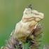 Malacosoma castrensis - Žolinis verpikas | Fotografijos autorius : Darius Baužys | © Macrogamta.lt | Šis tinklapis priklauso bendruomenei kuri domisi makro fotografija ir fotografuoja gyvąjį makro pasaulį.