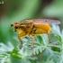 Geltonoji mėšlamusė - Scathophaga stercoraria | Fotografijos autorius : Darius Baužys | © Macrogamta.lt | Šis tinklapis priklauso bendruomenei kuri domisi makro fotografija ir fotografuoja gyvąjį makro pasaulį.