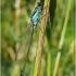 Ischnura elegans - Elegantiškoji strėliukė | Fotografijos autorius : Darius Baužys | © Macrogamta.lt | Šis tinklapis priklauso bendruomenei kuri domisi makro fotografija ir fotografuoja gyvąjį makro pasaulį.