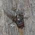 Muscina stabulans - Tikramusė   Fotografijos autorius : Darius Baužys   © Macrogamta.lt   Šis tinklapis priklauso bendruomenei kuri domisi makro fotografija ir fotografuoja gyvąjį makro pasaulį.