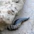 Hydrophilus [=Hydrous] piceus - Paprastasis degutvabalis | Fotografijos autorius : Darius Baužys | © Macrogamta.lt | Šis tinklapis priklauso bendruomenei kuri domisi makro fotografija ir fotografuoja gyvąjį makro pasaulį.