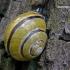 Rudalūpė dryžė - Cepaea nemoralis | Fotografijos autorius : Darius Baužys | © Macrogamta.lt | Šis tinklapis priklauso bendruomenei kuri domisi makro fotografija ir fotografuoja gyvąjį makro pasaulį.