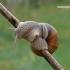 Helix pomatia - Vynuoginė sraigė | Fotografijos autorius : Darius Baužys | © Macrogamta.lt | Šis tinklapis priklauso bendruomenei kuri domisi makro fotografija ir fotografuoja gyvąjį makro pasaulį.