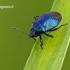 Zicrona caerulea - Mėlynoji skydblakė | Fotografijos autorius : Darius Baužys | © Macrogamta.lt | Šis tinklapis priklauso bendruomenei kuri domisi makro fotografija ir fotografuoja gyvąjį makro pasaulį.