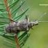 Rhagium mordax - Dygusis ragijus | Fotografijos autorius : Darius Baužys | © Macrogamta.lt | Šis tinklapis priklauso bendruomenei kuri domisi makro fotografija ir fotografuoja gyvąjį makro pasaulį.