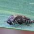 Variimorda villosa [=faciata] - Paprastasis dygliavabalis | Fotografijos autorius : Darius Baužys | © Macrogamta.lt | Šis tinklapis priklauso bendruomenei kuri domisi makro fotografija ir fotografuoja gyvąjį makro pasaulį.