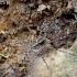 Miškinis puvėsinukas - Acantholycosa lignaria | Fotografijos autorius : Romas Ferenca | © Macrogamta.lt | Šis tinklapis priklauso bendruomenei kuri domisi makro fotografija ir fotografuoja gyvąjį makro pasaulį.