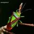 Acanthosoma haemorrhoidale - Gudobelinė skydblakė | Fotografijos autorius : Romas Ferenca | © Macrogamta.lt | Šis tinklapis priklauso bendruomenei kuri domisi makro fotografija ir fotografuoja gyvąjį makro pasaulį.