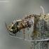 Ąžuolialapis verpstūnas - Aculepeira ceropegia | Fotografijos autorius : Romas Ferenca | © Macrogamta.lt | Šis tinklapis priklauso bendruomenei kuri domisi makro fotografija ir fotografuoja gyvąjį makro pasaulį.