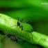 Acyrthosiphon sp. - Amaras | Fotografijos autorius : Romas Ferenca | © Macrogamta.lt | Šis tinklapis priklauso bendruomenei kuri domisi makro fotografija ir fotografuoja gyvąjį makro pasaulį.