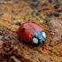 Dvitaškė adalija - Adalia bipunctata | Fotografijos autorius : Romas Ferenca | © Macrogamta.lt | Šis tinklapis priklauso bendruomenei kuri domisi makro fotografija ir fotografuoja gyvąjį makro pasaulį.