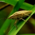 Aelia acuminata - Smailiagalvė skydblakė | Fotografijos autorius : Romas Ferenca | © Macrogamta.lt | Šis tinklapis priklauso bendruomenei kuri domisi makro fotografija ir fotografuoja gyvąjį makro pasaulį.