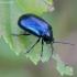 Mėlynasis alksniagraužis - Agelastica alni | Fotografijos autorius : Romas Ferenca | © Macrogamta.lt | Šis tinklapis priklauso bendruomenei kuri domisi makro fotografija ir fotografuoja gyvąjį makro pasaulį.