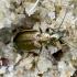 Geltonkraštis žvitražygis - Agonum marginatum   | Fotografijos autorius : Romas Ferenca | © Macrogamta.lt | Šis tinklapis priklauso bendruomenei kuri domisi makro fotografija ir fotografuoja gyvąjį makro pasaulį.