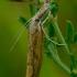 Agriphila inquinatella - Murzinoji agrifila | Fotografijos autorius : Romas Ferenca | © Macrogamta.lt | Šis tinklapis priklauso bendruomenei kuri domisi makro fotografija ir fotografuoja gyvąjį makro pasaulį.