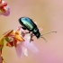 Altica oleracea - Nakvišinė didspragė | Fotografijos autorius : Romas Ferenca | © Macrogamta.lt | Šis tinklapis priklauso bendruomenei kuri domisi makro fotografija ir fotografuoja gyvąjį makro pasaulį.