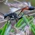 Smėlinė amofila - Ammophila sabulosa   Fotografijos autorius : Romas Ferenca   © Macrogamta.lt   Šis tinklapis priklauso bendruomenei kuri domisi makro fotografija ir fotografuoja gyvąjį makro pasaulį.