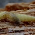 Kelmaspragšis - Ampedus pomorum, lėliukė | Fotografijos autorius : Romas Ferenca | © Macrogamta.lt | Šis tinklapis priklauso bendruomenei kuri domisi makro fotografija ir fotografuoja gyvąjį makro pasaulį.