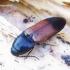 Ampedus balteatus - Juodgalvis kelmaspragšis | Fotografijos autorius : Romas Ferenca | © Macrogamta.lt | Šis tinklapis priklauso bendruomenei kuri domisi makro fotografija ir fotografuoja gyvąjį makro pasaulį.