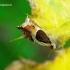 Ancylis badiana - Dobilinis ancylis | Fotografijos autorius : Romas Ferenca | © Macrogamta.lt | Šis tinklapis priklauso bendruomenei kuri domisi makro fotografija ir fotografuoja gyvąjį makro pasaulį.