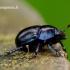 Anoplotrupes [=Geotrupes] stercorosus - Miškinis mėšlavabalis | Fotografijos autorius : Romas Ferenca | © Macrogamta.lt | Šis tinklapis priklauso bendruomenei kuri domisi makro fotografija ir fotografuoja gyvąjį makro pasaulį.