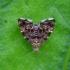 Dilgėlinė lapsukinė kandis - Anthophila fabriciana | Fotografijos autorius : Romas Ferenca | © Macrogamta.lt | Šis tinklapis priklauso bendruomenei kuri domisi makro fotografija ir fotografuoja gyvąjį makro pasaulį.