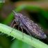 Cikadelė - Aphrodes bicinctus | Fotografijos autorius : Romas Ferenca | © Macrogamta.lt | Šis tinklapis priklauso bendruomenei kuri domisi makro fotografija ir fotografuoja gyvąjį makro pasaulį.