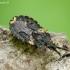 Žieviablakė - Aradus truncatus | Fotografijos autorius : Romas Ferenca | © Macrogamta.lt | Šis tinklapis priklauso bendruomenei kuri domisi makro fotografija ir fotografuoja gyvąjį makro pasaulį.