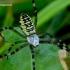 Argiope bruennichi - Paprastasis vapsvavoris | Fotografijos autorius : Romas Ferenca | © Macrogamta.lt | Šis tinklapis priklauso bendruomenei kuri domisi makro fotografija ir fotografuoja gyvąjį makro pasaulį.