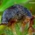 Deroceras reticulatum - Tinklinis dirvašliužis | Fotografijos autorius : Romas Ferenca | © Macrogamta.lt | Šis tinklapis priklauso bendruomenei kuri domisi makro fotografija ir fotografuoja gyvąjį makro pasaulį.