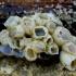 Jūrų gilė - Balanus improvisus | Fotografijos autorius : Romas Ferenca | © Macrogamta.lt | Šis tinklapis priklauso bendruomenei kuri domisi makro fotografija ir fotografuoja gyvąjį makro pasaulį.