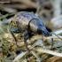 Barynotus obscurus - Straubliukas | Fotografijos autorius : Romas Ferenca | © Macrogamta.lt | Šis tinklapis priklauso bendruomenei kuri domisi makro fotografija ir fotografuoja gyvąjį makro pasaulį.