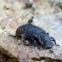 Kempininis juodvabalis - Bolitophagus reticulatus | Fotografijos autorius : Romas Ferenca | © Macrogamta.lt | Šis tinklapis priklauso bendruomenei kuri domisi makro fotografija ir fotografuoja gyvąjį makro pasaulį.