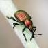 Byctiscus betulae - Liepinis cigarsukis | Fotografijos autorius : Romas Ferenca | © Macrogamta.lt | Šis tinklapis priklauso bendruomenei kuri domisi makro fotografija ir fotografuoja gyvąjį makro pasaulį.