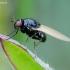 Girinukė - Calliopum sp. | Fotografijos autorius : Romas Ferenca | © Macrogamta.lt | Šis tinklapis priklauso bendruomenei kuri domisi makro fotografija ir fotografuoja gyvąjį makro pasaulį.