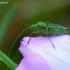 Žolblakė - Calocoris affinis | Fotografijos autorius : Romas Ferenca | © Macrogamta.lt | Šis tinklapis priklauso bendruomenei kuri domisi makro fotografija ir fotografuoja gyvąjį makro pasaulį.