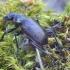 Žiaurusis puikiažygis - Calosoma inquisitor   Fotografijos autorius : Romas Ferenca   © Macrogamta.lt   Šis tinklapis priklauso bendruomenei kuri domisi makro fotografija ir fotografuoja gyvąjį makro pasaulį.