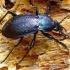 Carabus arcensis - Dirvinis puošniažygis | Fotografijos autorius : Romas Ferenca | © Macrogamta.lt | Šis tinklapis priklauso bendruomenei kuri domisi makro fotografija ir fotografuoja gyvąjį makro pasaulį.