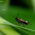 Mažoji ilgaūsė makštinė kandis - Cauchas fibulella | Fotografijos autorius : Romas Ferenca | © Macrogamta.lt | Šis tinklapis priklauso bendruomenei kuri domisi makro fotografija ir fotografuoja gyvąjį makro pasaulį.