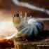 Ceruchus chrysomelinus - Šiaurinis elniavabalis | Fotografijos autorius : Romas Ferenca | © Macrogamta.lt | Šis tinklapis priklauso bendruomenei kuri domisi makro fotografija ir fotografuoja gyvąjį makro pasaulį.