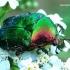 Cetonia aurata - Paprastasis auksavabalis / Bronzinukas   Fotografijos autorius : Romas Ferenca   © Macrogamta.lt   Šis tinklapis priklauso bendruomenei kuri domisi makro fotografija ir fotografuoja gyvąjį makro pasaulį.