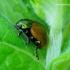 Chrysolina polita - Mėtinis puošnys | Fotografijos autorius : Romas Ferenca | © Macrogamta.lt | Šis tinklapis priklauso bendruomenei kuri domisi makro fotografija ir fotografuoja gyvąjį makro pasaulį.