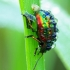Chrysolina fastuosa - Notrelinis  | Fotografijos autorius : Romas Ferenca | © Macrogamta.lt | Šis tinklapis priklauso bendruomenei kuri domisi makro fotografija ir fotografuoja gyvąjį makro pasaulį.