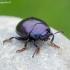 Violetinis puošnys - Chrysolina sturmi | Fotografijos autorius : Romas Ferenca | © Macrogamta.lt | Šis tinklapis priklauso bendruomenei kuri domisi makro fotografija ir fotografuoja gyvąjį makro pasaulį.
