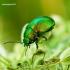 Chrysolina herbacea - Pipirmėtinis puošnys | Fotografijos autorius : Romas Ferenca | © Macrogamta.lt | Šis tinklapis priklauso bendruomenei kuri domisi makro fotografija ir fotografuoja gyvąjį makro pasaulį.