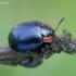 Puošnusis gluosninukas - Chrysomela collaris | Fotografijos autorius : Romas Ferenca | © Macrogamta.lt | Šis tinklapis priklauso bendruomenei kuri domisi makro fotografija ir fotografuoja gyvąjį makro pasaulį.
