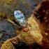 Vaisinė muselė - Chymomyza amoena | Fotografijos autorius : Romas Ferenca | © Macrogamta.lt | Šis tinklapis priklauso bendruomenei kuri domisi makro fotografija ir fotografuoja gyvąjį makro pasaulį.