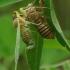 Cicadetta montana - Kalninė cikada | Fotografijos autorius : Romas Ferenca | © Macrogamta.lt | Šis tinklapis priklauso bendruomenei kuri domisi makro fotografija ir fotografuoja gyvąjį makro pasaulį.